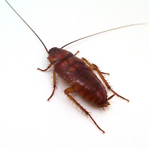 cockroach on white background for pest control in high point
