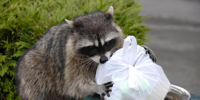 Raccoon in trash