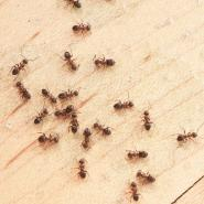 Ants crawling on floor in kitchen
