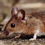 small brown mouse crawling on ground