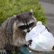 adult Raccoon pulling trash out of a trashcan