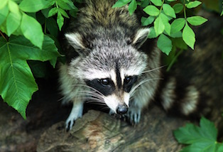 raccoon for wildlife control in high point